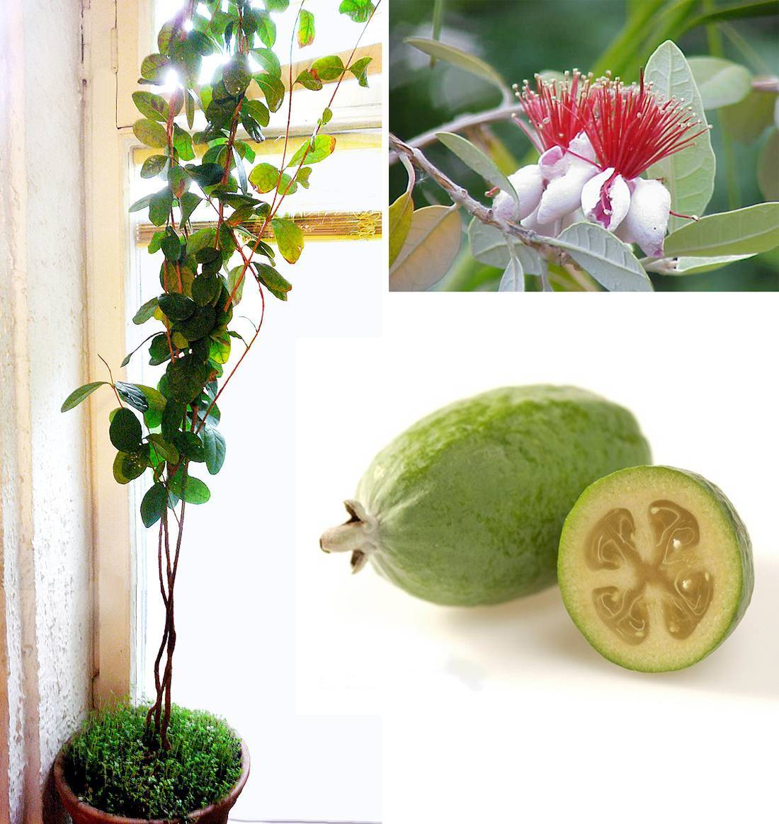 Фейхоа: фото видов, описание растения акка и что это такое