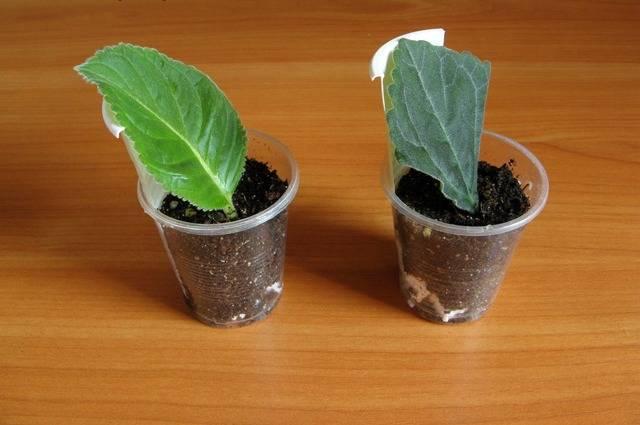 Уход за глоксиниями: полив, посадка, подкормка, размножение глоксинии семенами