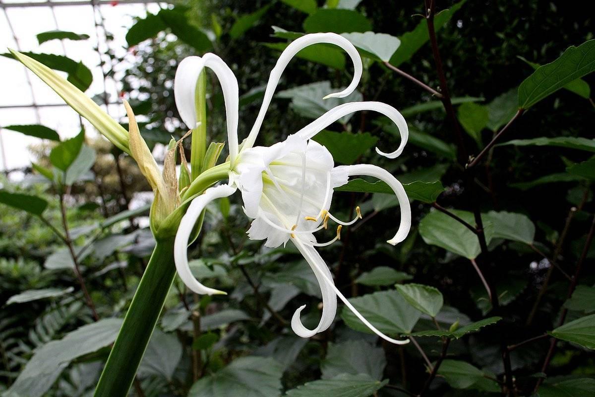 Выращивание цветов гименокаллис  в саду и в домашних условиях
