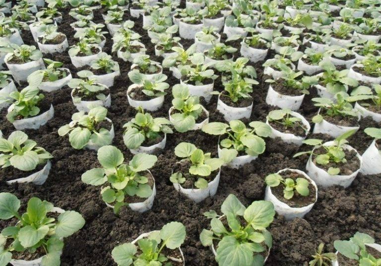 Иберис — выращивание из семян