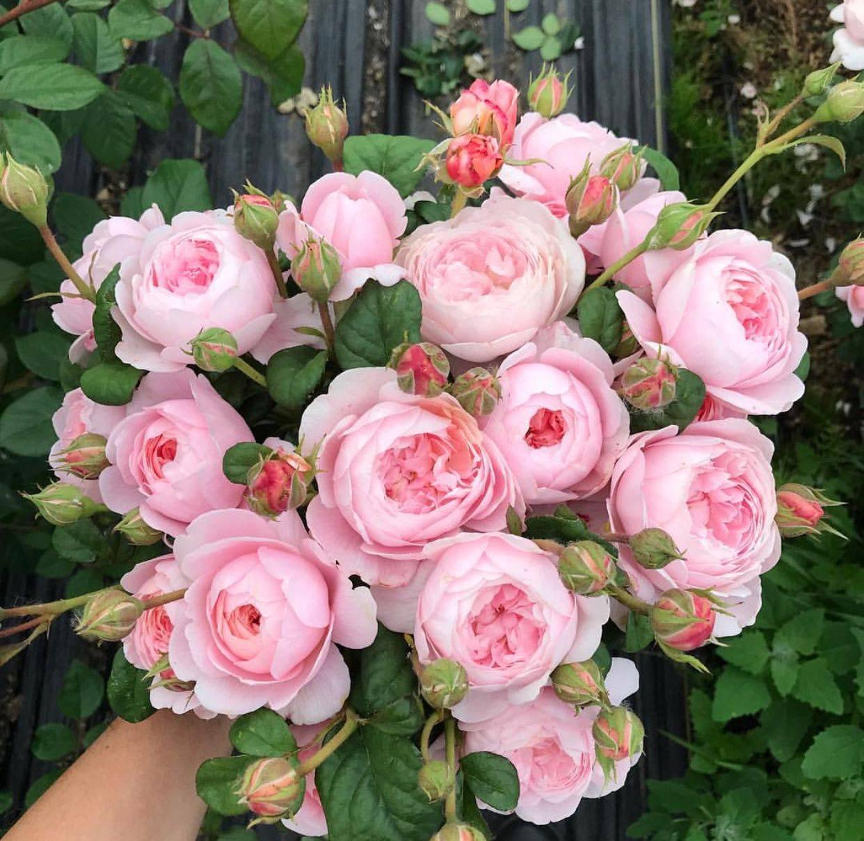 Роза квин оф свиден