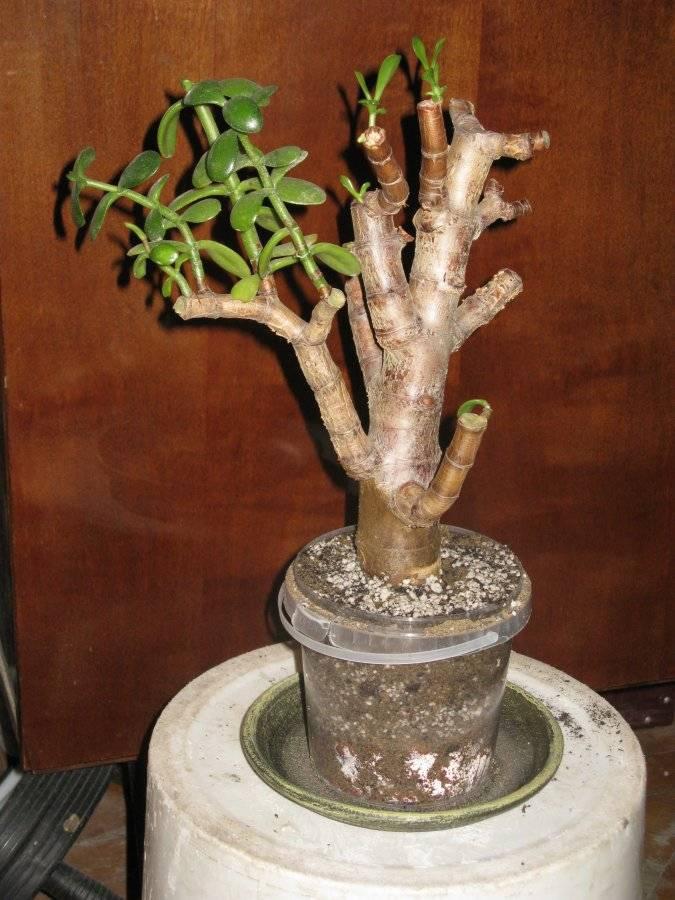 Как правильно сажать денежное дерево из отростка: какая земля нужна, когда лучше