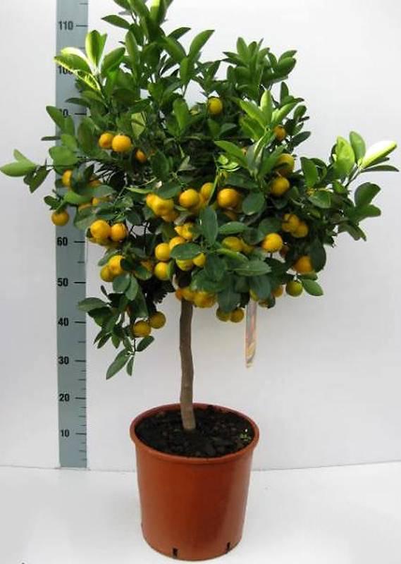 Каламондин- домашний мандарин: описание, выращивание, уход