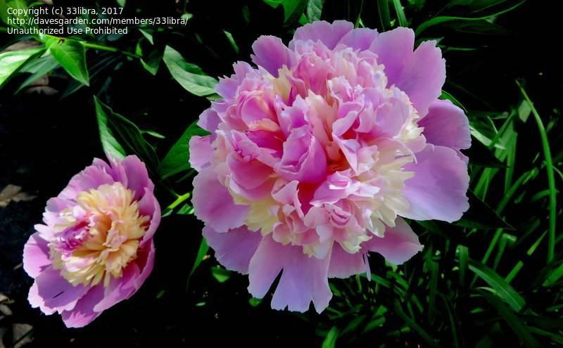 Пион Сорбет (Paeonia Sorbet) — выращивание на садовом участке
