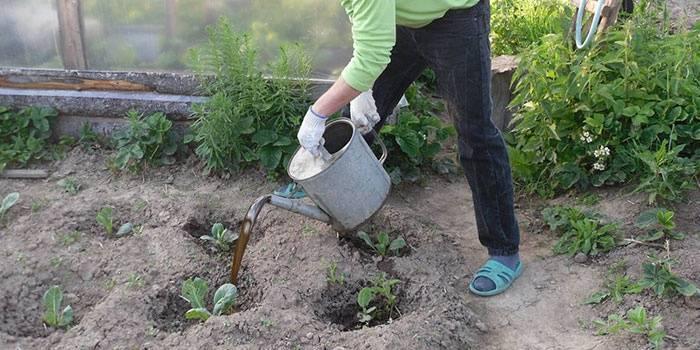 Чубушник (жасмин) — посадка и уход в открытом грунте