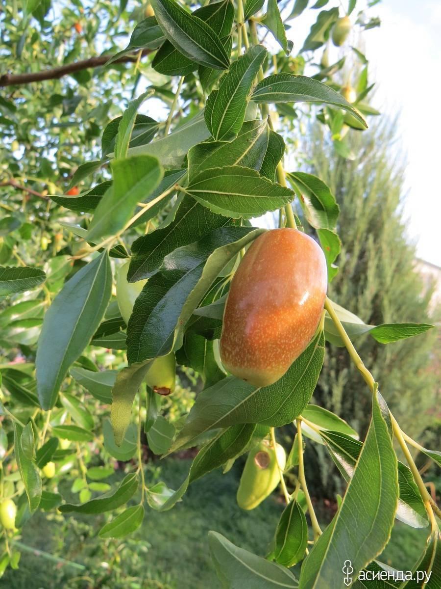 Финиковая пальма: описание, история, особенности выращивания в домашних условиях и польза плодов