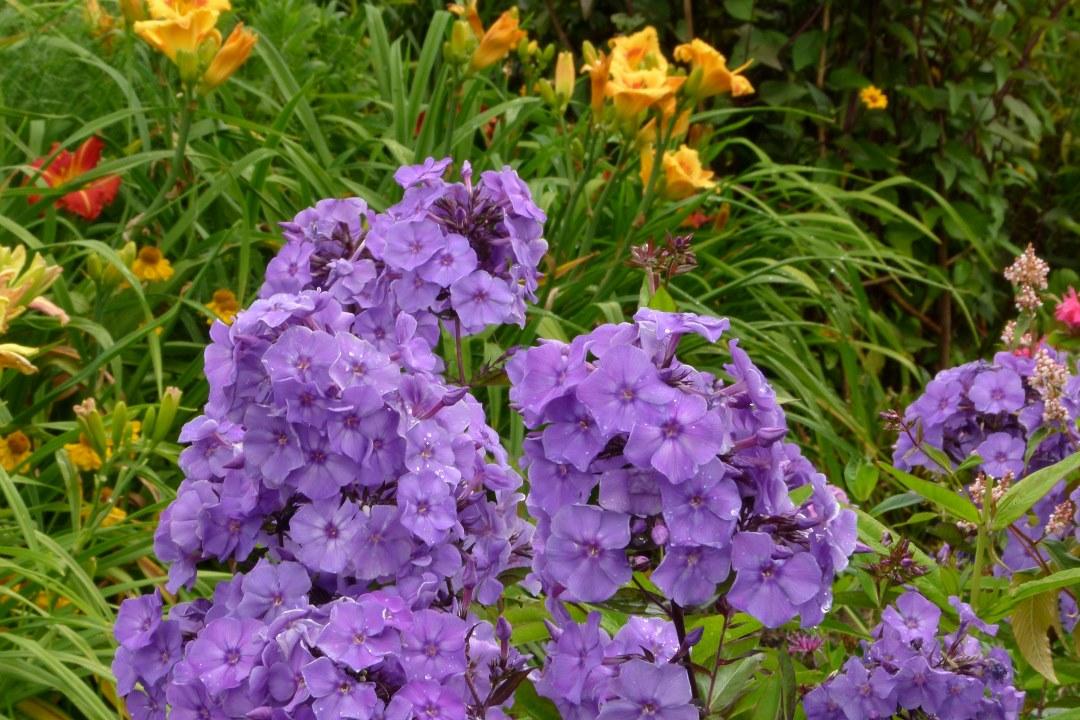 Флокс блю парадайз (блю парадиз, blue paradise): характеристика, посадка и уход, выращивание