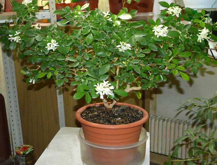 Муррайя — дерево японских императоров