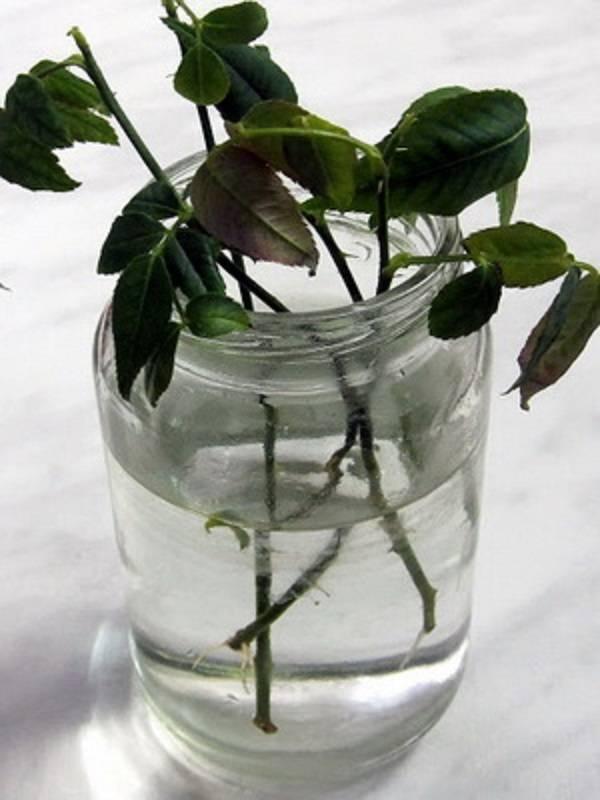 Несколько вариантов размножения рододендронов: черенкование, деление, семена