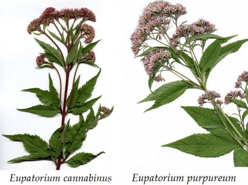 Посконник: виды и сорта, выращивание на участке