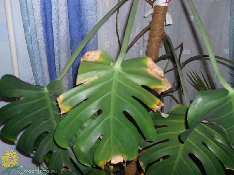 Что делать: у комнатных цветов желтеют листья, отчего желтеют кончики листьев