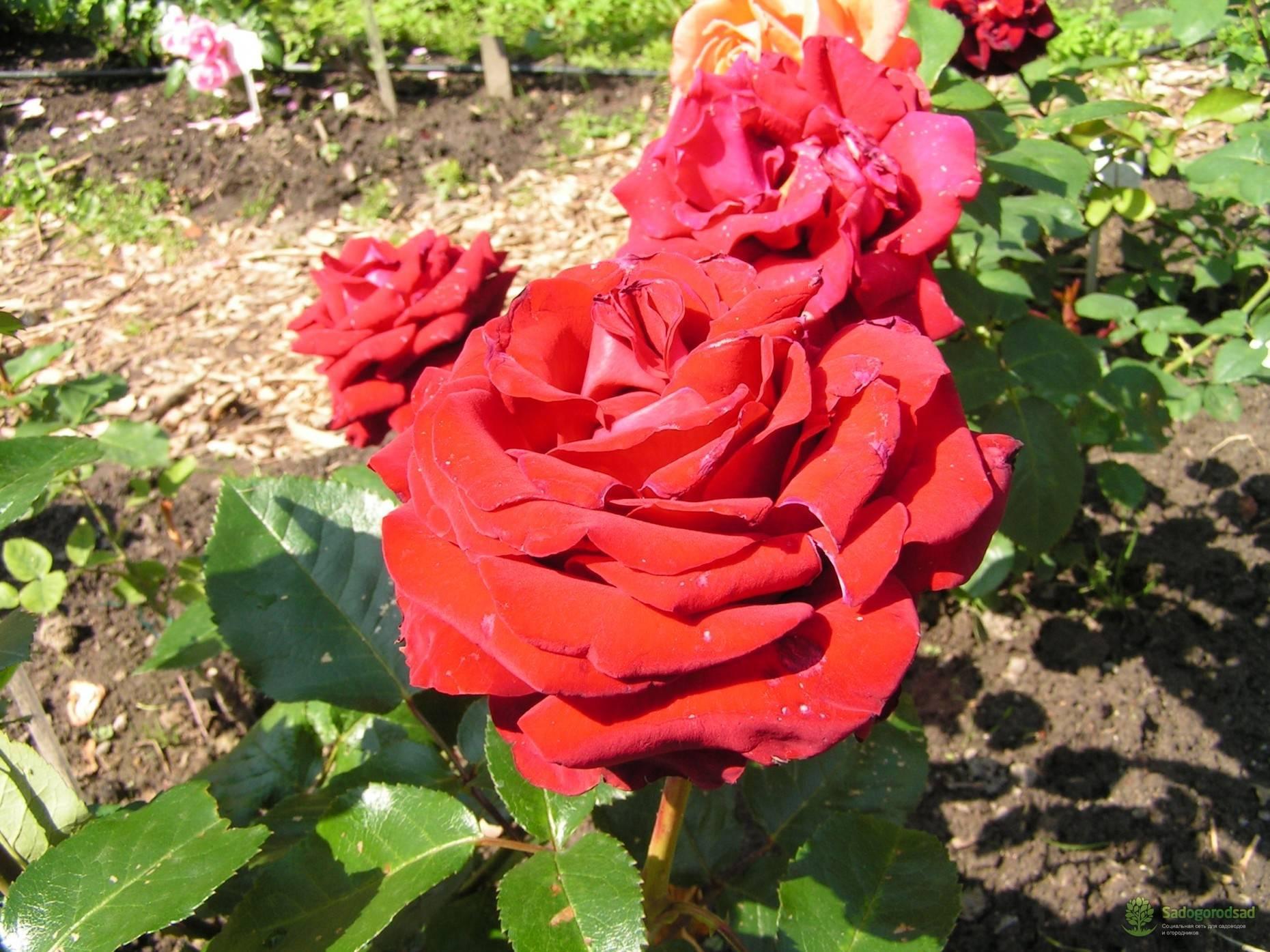 Выращивание чайной гибридной розы красно-желтого цвета сорта моника, нюансы ухода