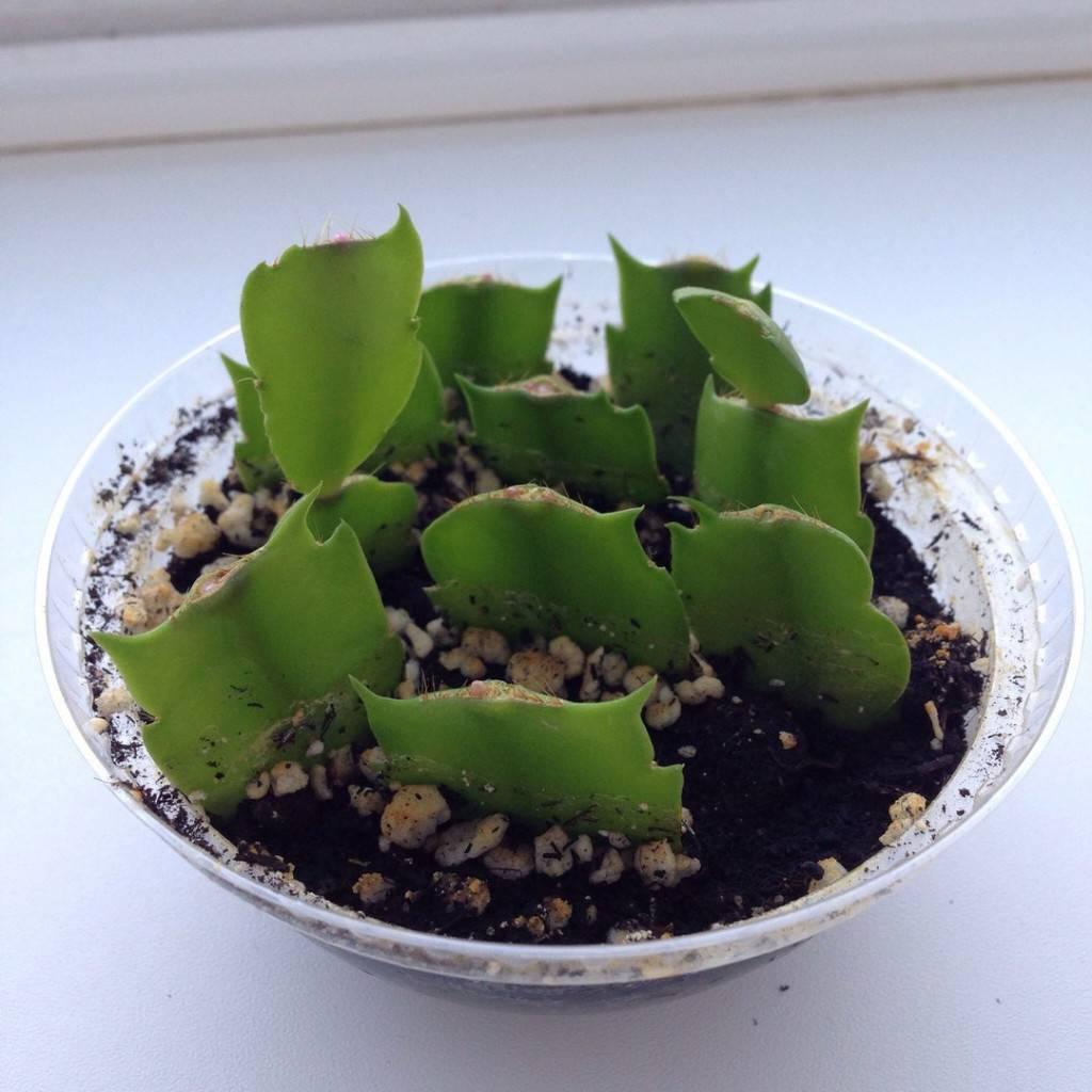 Хавортия: виды, названия, полезные свойства растения
