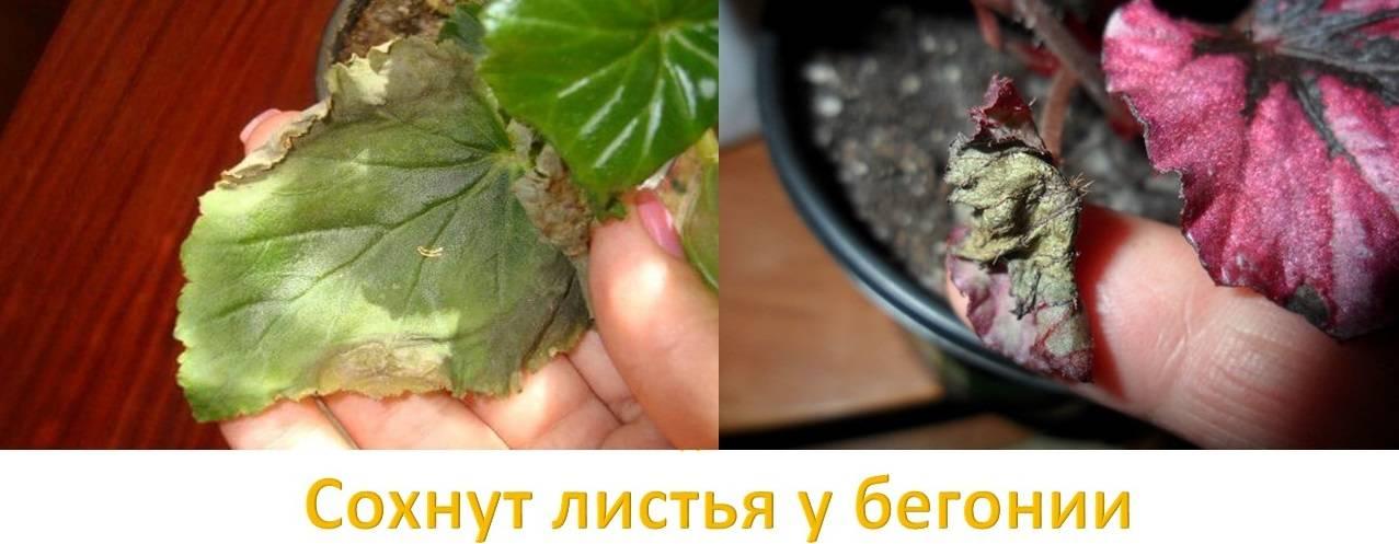 Почему бегония клубневая не цветет и что делать? описание, профилактика и лечение болезней растения
