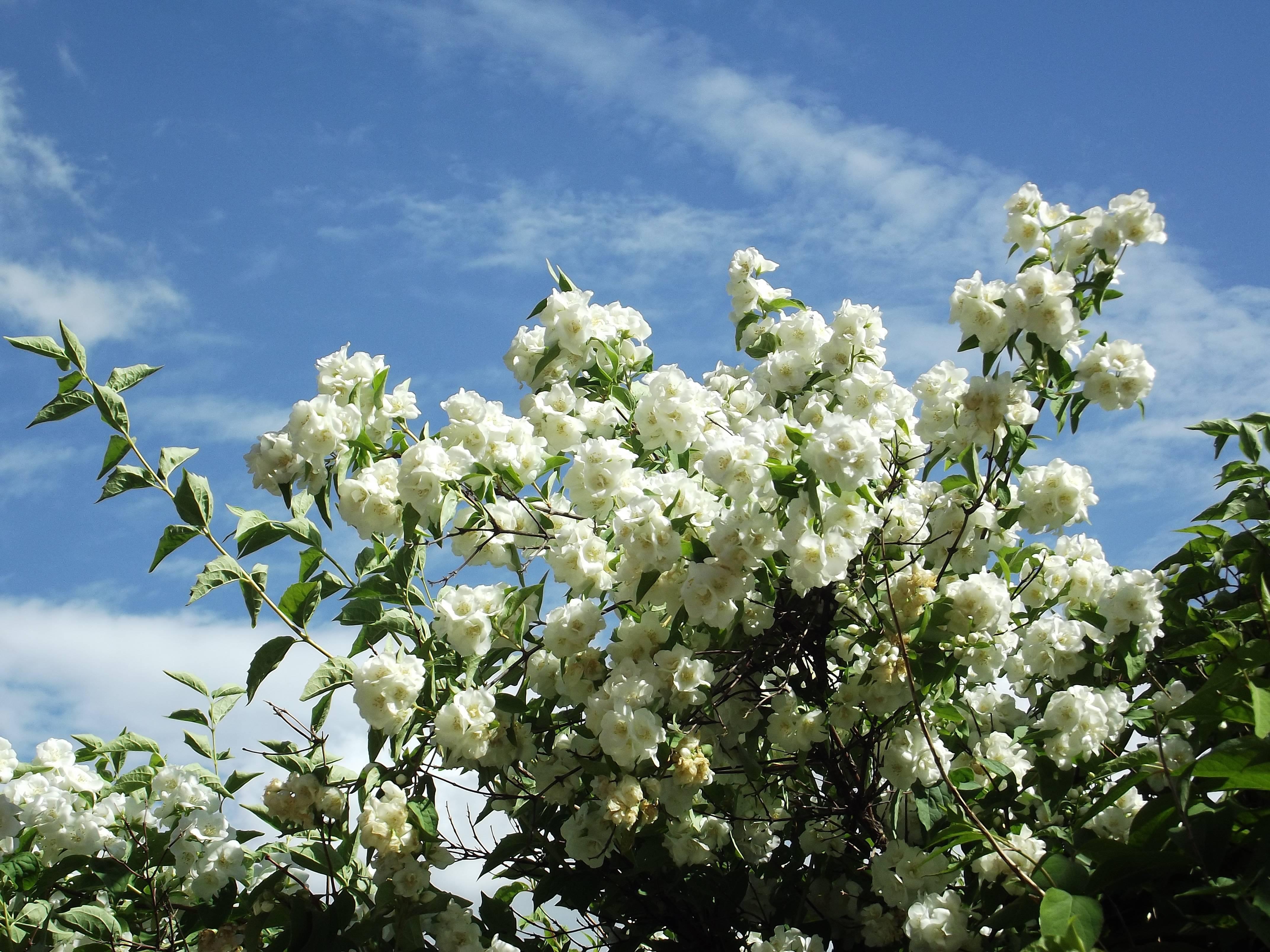 Все о чубушнике (садовом жасмине)