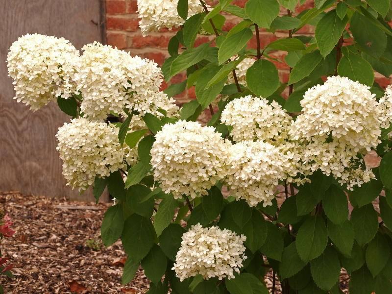 Гортензия мэджикал кэндл (hydrangea paniculata magical candle) — описание - pocvetam.ru