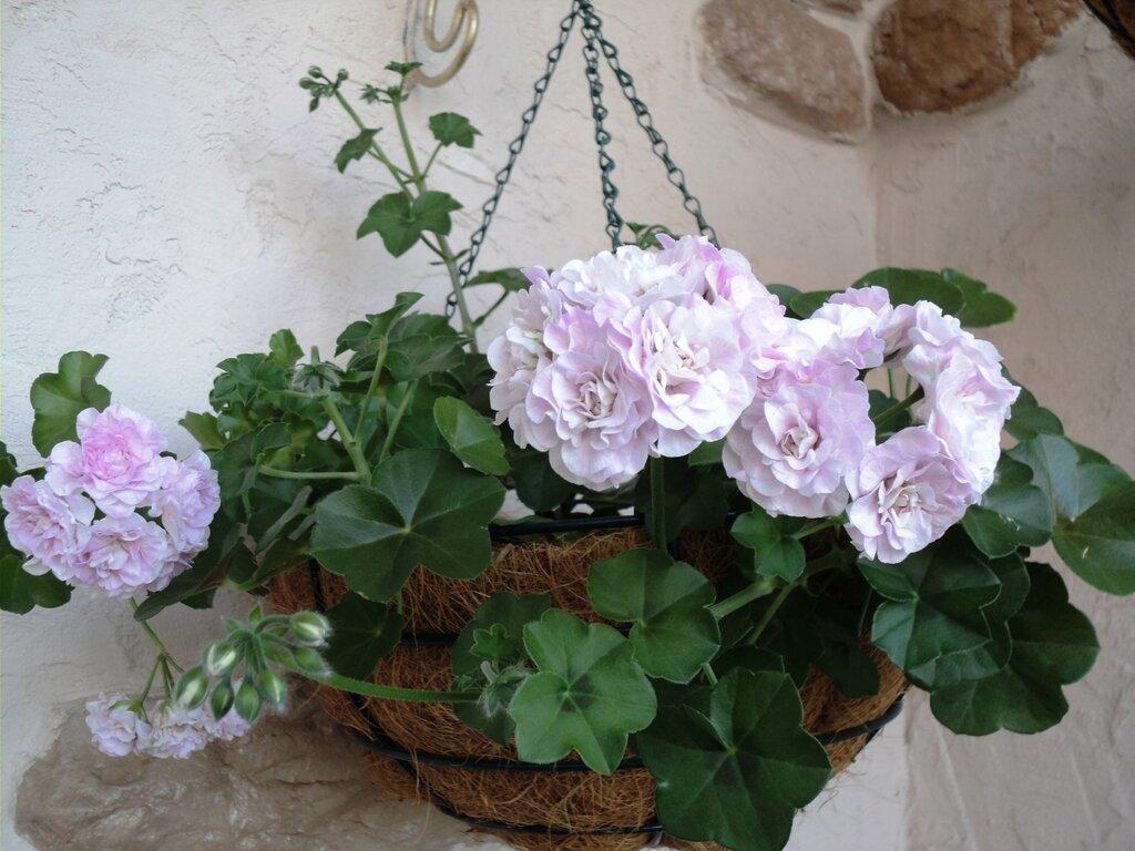 Выращивание пеларгонии «denise» в домашних условиях: уход и размножение денизы