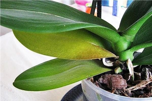 Листья орхидеи: основные заболевания и методы борьбы с ними