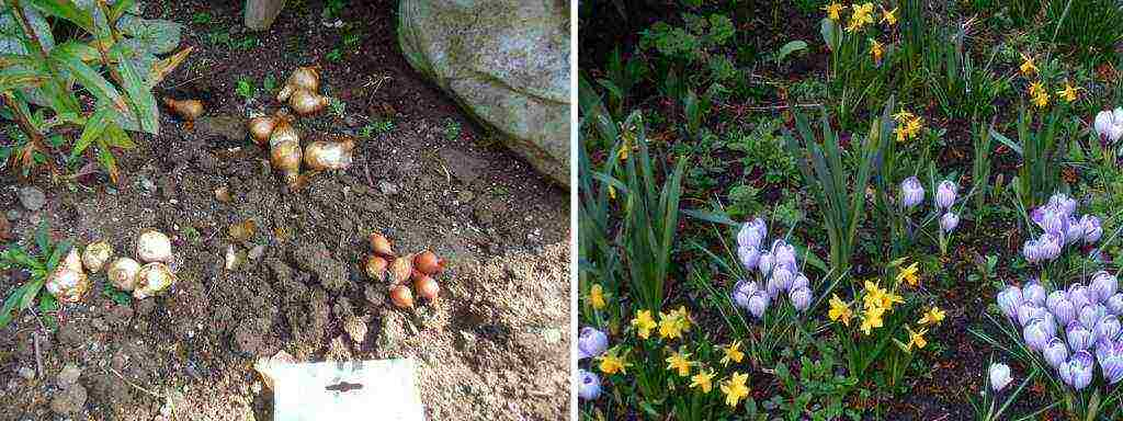 Рябчик — сорта и разновидности, сроки осенней посадки и уход