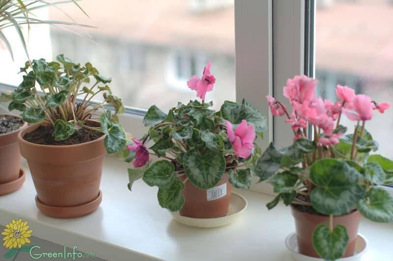 Беспокоимся о цветке: что делать, если у цикламена желтеют листья или он вянет?