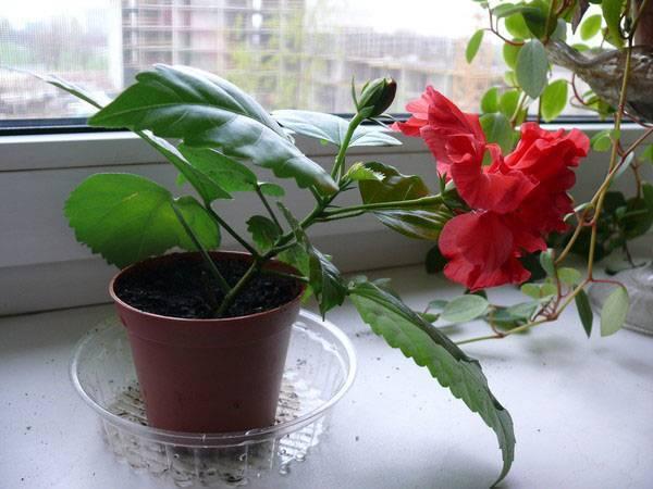 Бальзамин комнатный — почему не цветет и что делать? советы по уходу и выращиванию в домашних условиях!