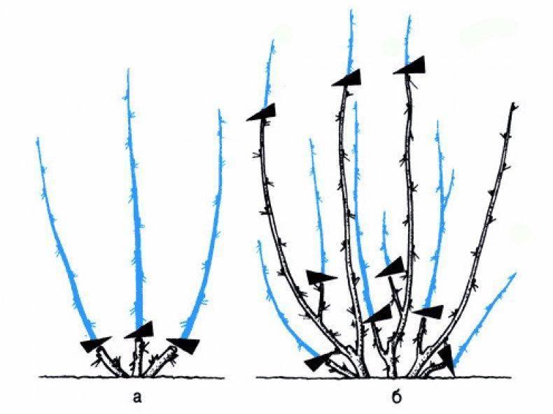 Как ухаживать за кустарником бугенвиллией: посадка, уход и формирование кроны