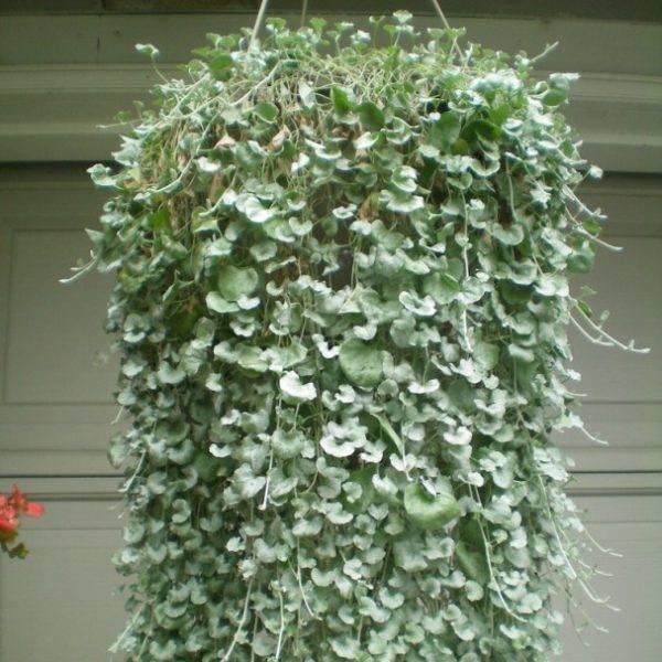 Дихондра: выращивание из семян, посадка и уход в саду