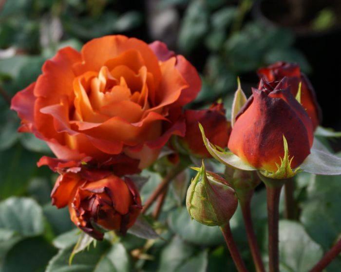 Роза Кофе Брейк (Coffee Break) — описание кустового сорта