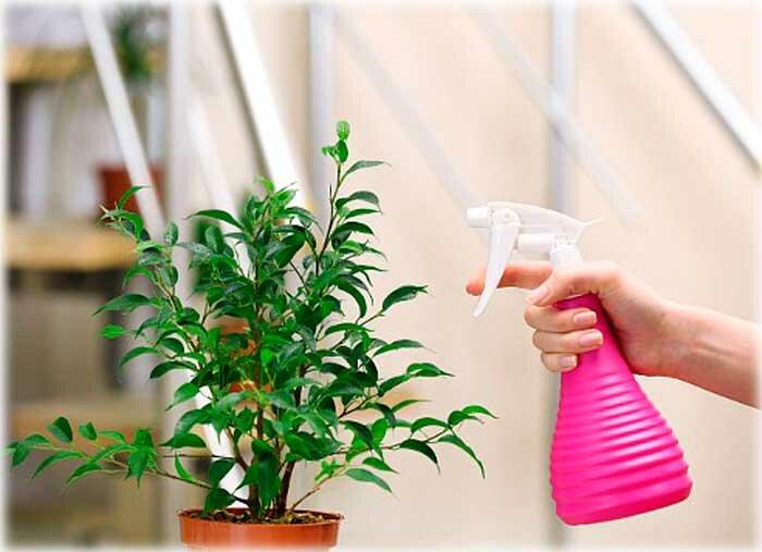 Правила ухода за неомарикой дома: полив и подкормка, температура и влажность