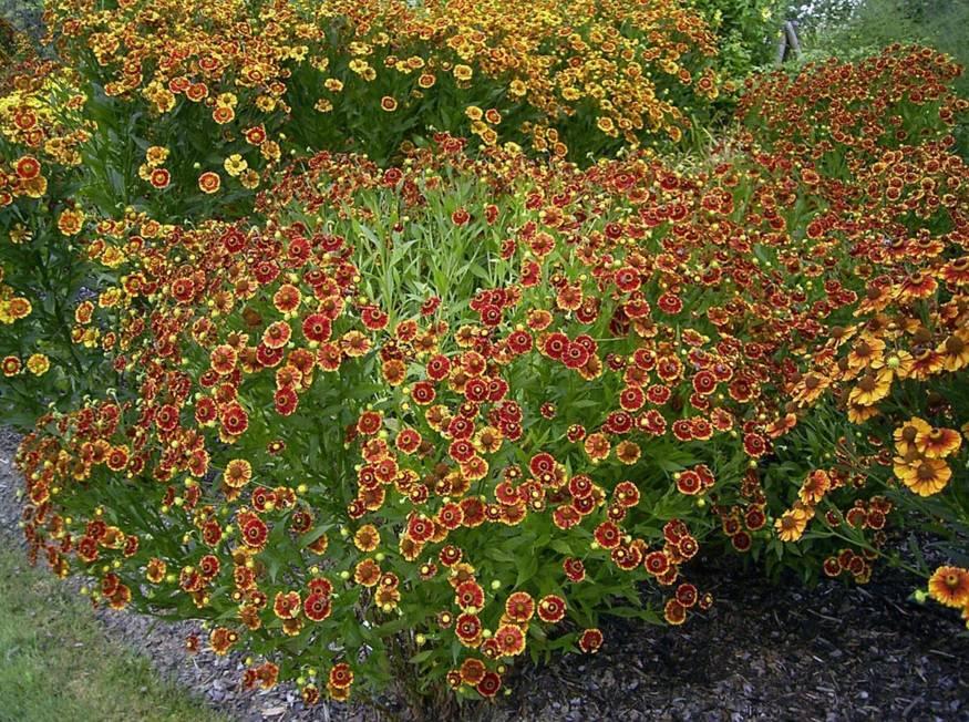 Гелениум осенний, правила посадки и ухода для яркого сада