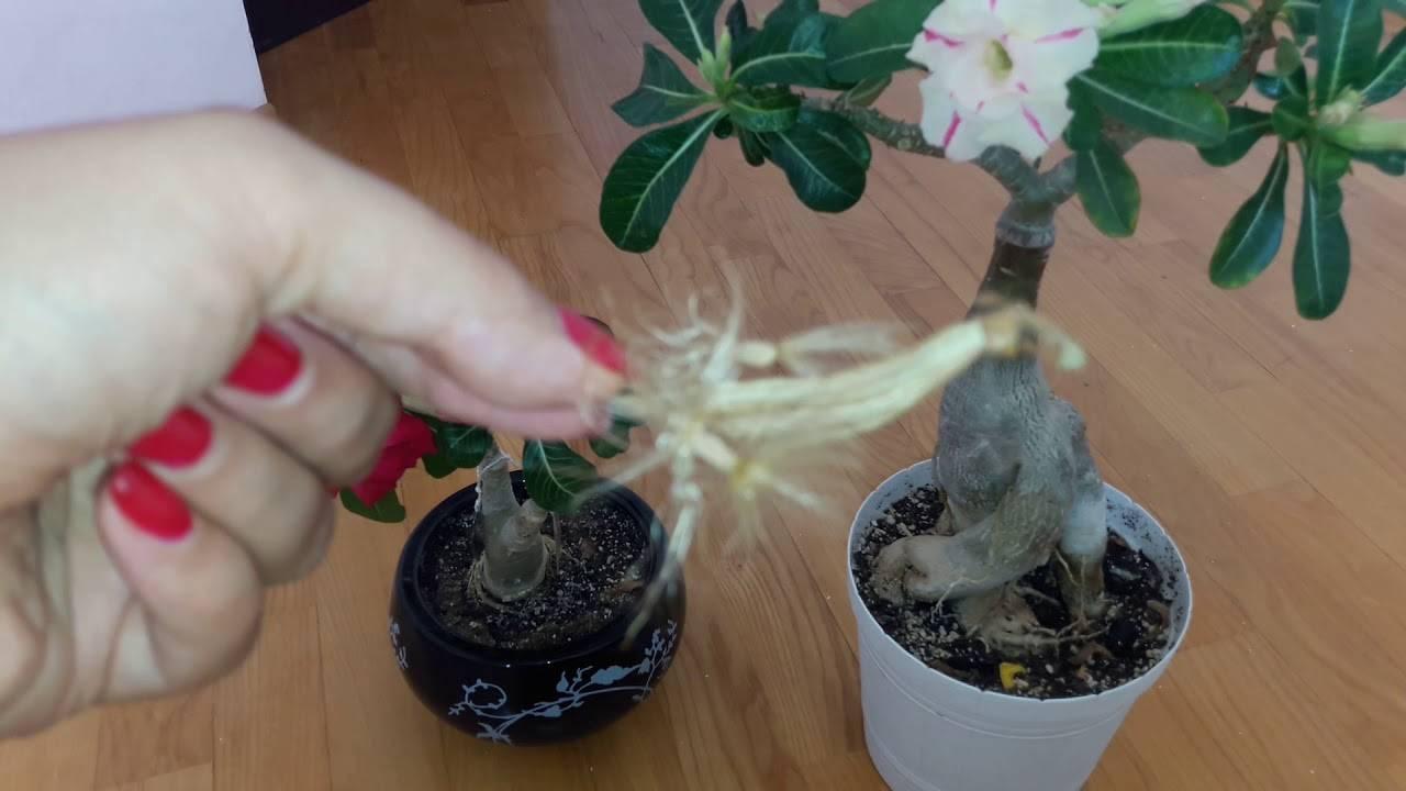 Адениум (пустынная роза): уход в домашних условиях за красиво цветущим инструкция по формированию каудекса с фото