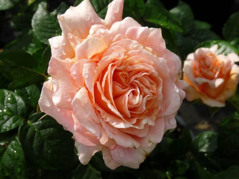 Роза полька, посадка растения и правильный уход за ним