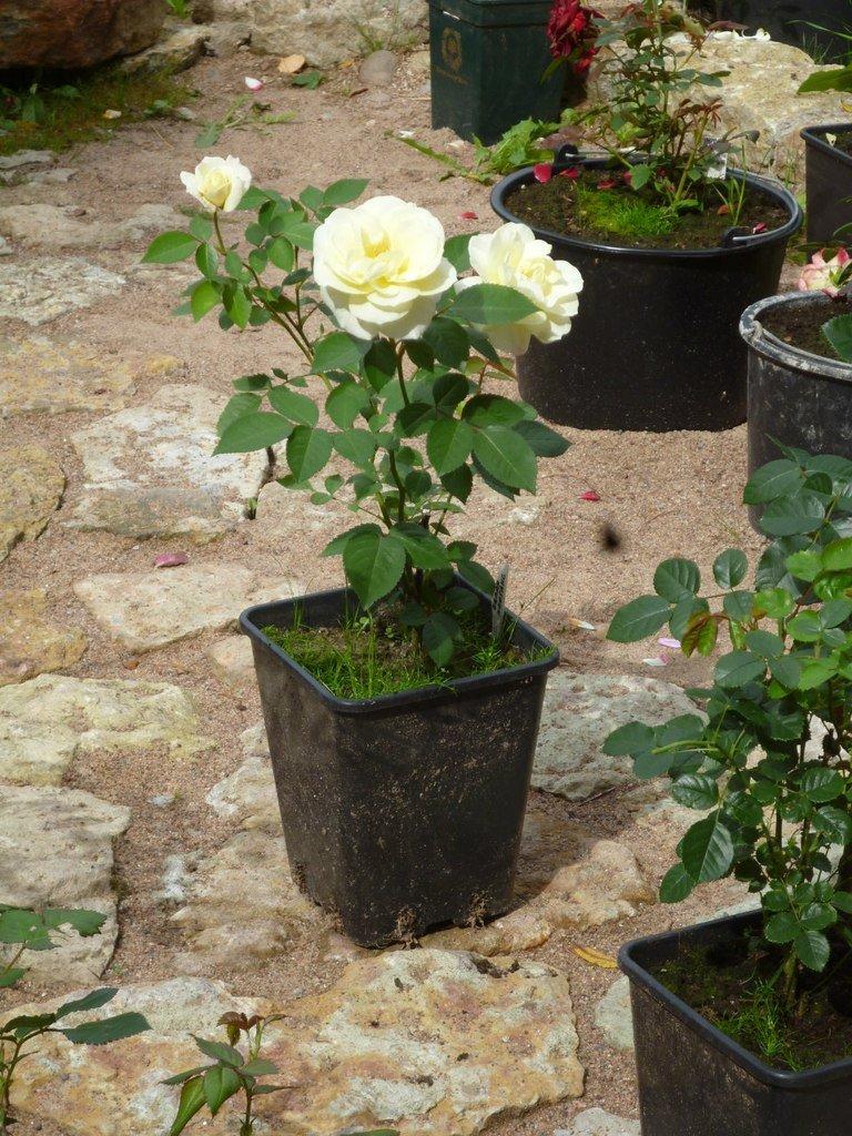 Привитые и корнесобственные розы — вода — источник красоты и молодости