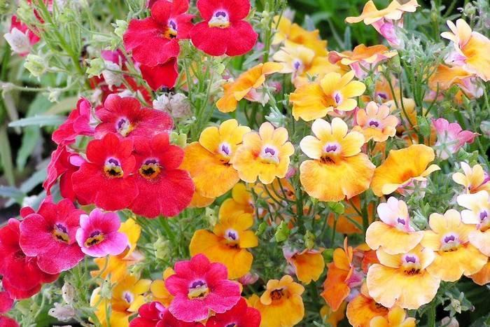 Немезия посадка и уход: немезия выращивание из семян когда сажать.
