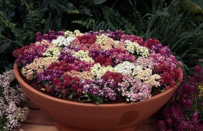 Выращивание алиссума (38 фото): посадка и уход за цветком в открытом грунте. как сажать семена в домашних условиях? можно ли сеять под зиму?