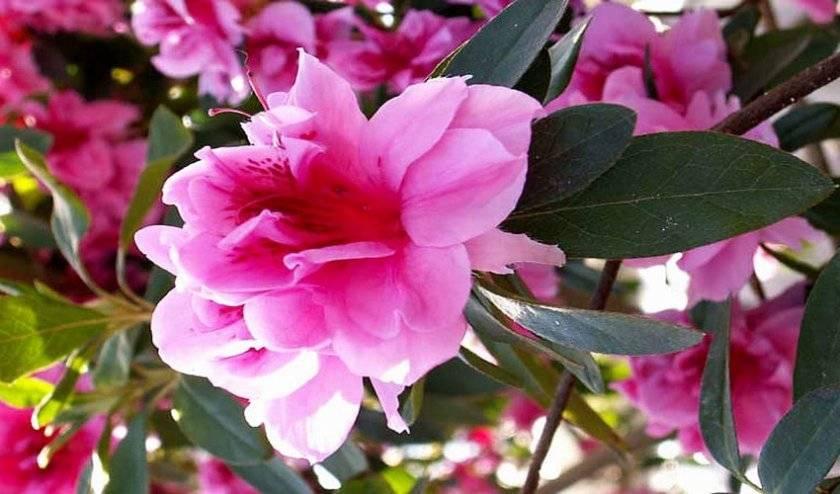 Как ухаживать за цветком азалия в домашних условиях :: инфониак