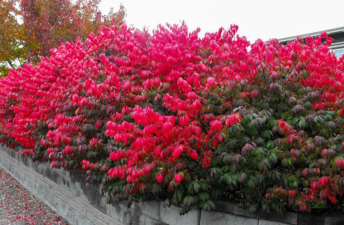 Японский бересклет: посадка в саду и выращивание на урале и в сибири