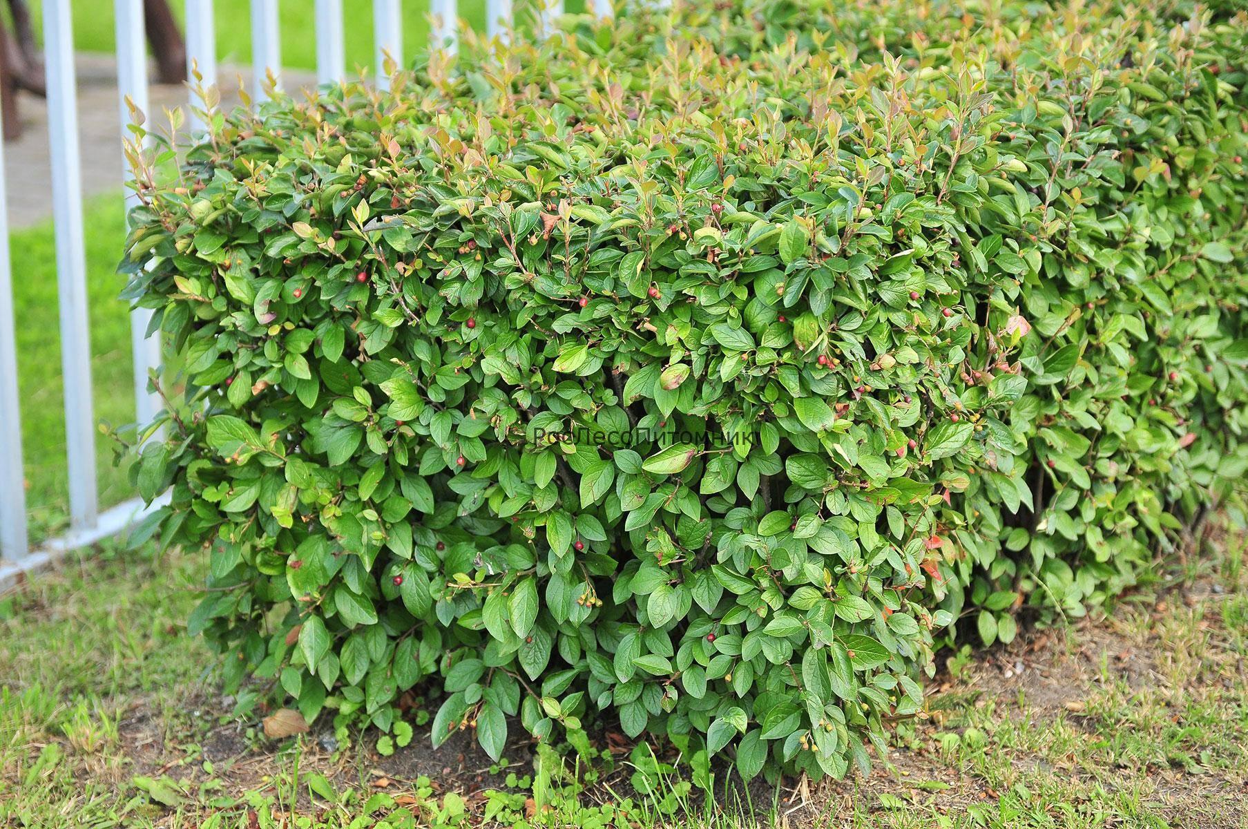 Справочник садовода: все, что нужно знать, о выращивании кизила
