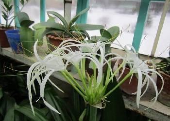 Сажаем гименокаллис в саду