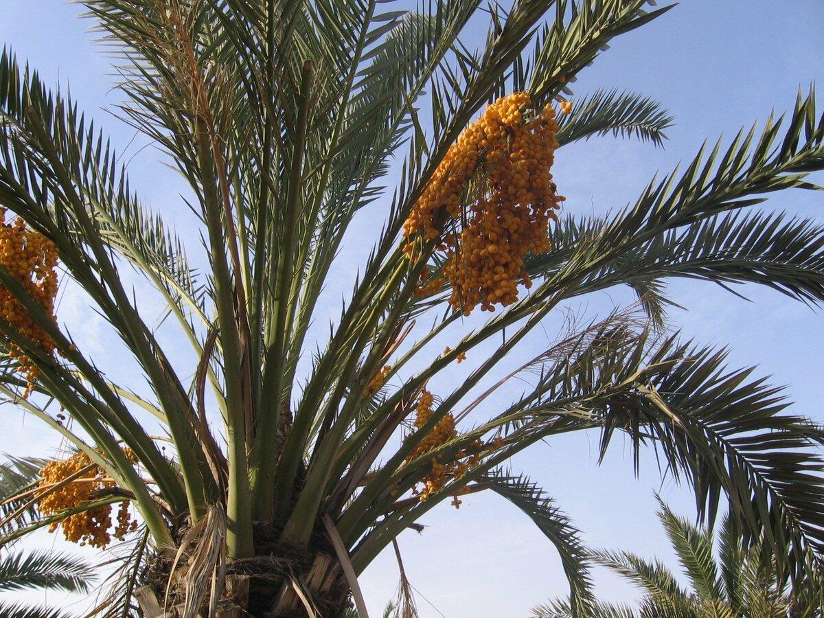 Финиковая пальма из косточки в домашних условиях — как вырастить и ухаживать?