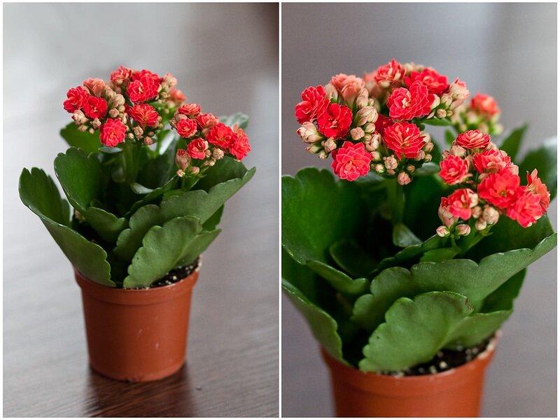 Миниатюрный каланхоэ микс — разновидности и фото. как ухаживать за цветком в домашних условиях?