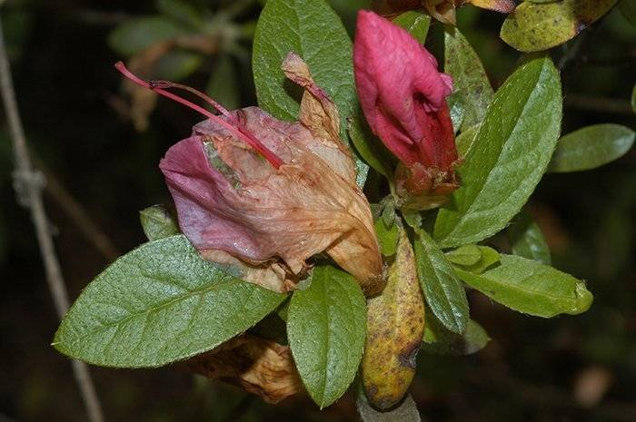 Какие болезни и вредители грозят азалии? описание, фото, рекомендации по борьбе