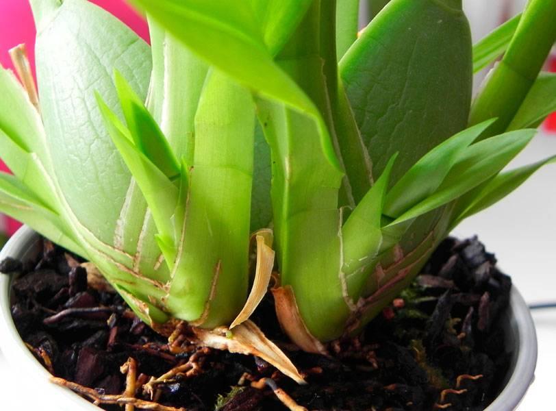 Камбрия – танцующая орхидея