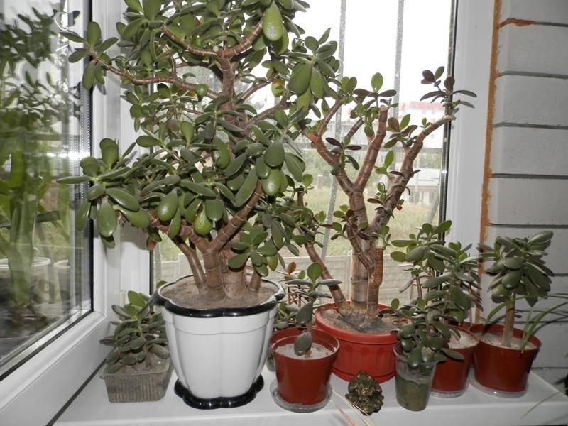Как рассадить денежное дерево в домашних условиях: когда нужно перемещать толстянку в другой горшок, как это правильно делать, и фото пересаженного цветка