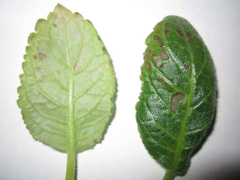 Болезни глоксинии — что делать, как с ними бороться