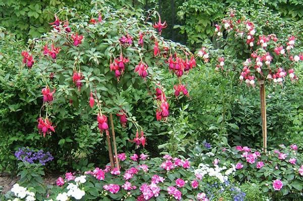 О выращивании бегонии садовой на даче в открытом грунте и горшках
