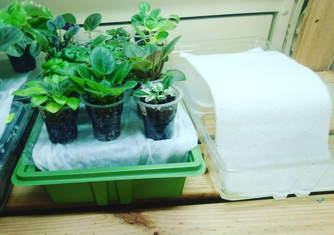 Фиалки: как пересаживать, можно ли проводить процедуру с цветущим растением, а также каким должен быть последующий уход?