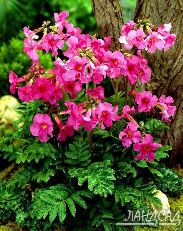 Инкарвиллея: выращивание и уход из семян (делавея, розовая)