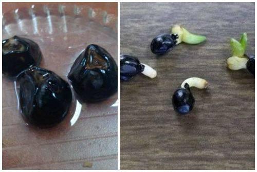 Выращивание бананов — инструкция по посадке и выращиванию в домашних условиях (110 фото)