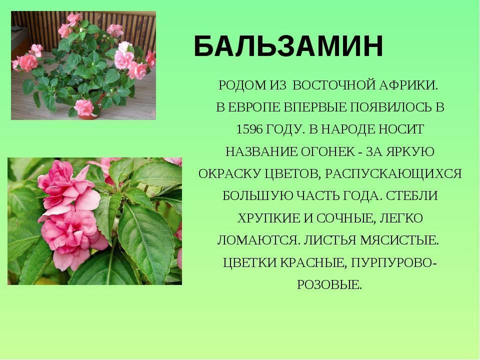 Цветы огоньки. комнатный цветок бальзамин